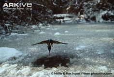 Kingfisher in flight about to dive through hole in ice on frozen stream----The kingfisher feeds mainly on fish and invertebrates, which it catches by perching on a convenient branch or other structure overhanging the water, and plunging into the water when suitable prey comes within striking distance. If a suitable perch is not present, individuals may hover over the water whilst searching for prey