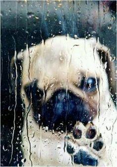 crazy cute animal photos  -Adorable pug in rain