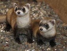 Image result for black-footed ferret