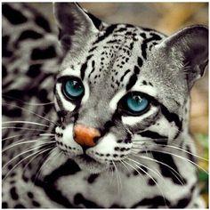 Ocelo - Wow! Those Eyes! Oh-Those Eyes!