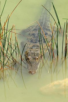 Morelet's crocodile, Laguna Cobá, Quintana Roo, Mexico