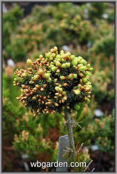 Dandelion, Fruit, Flowers, Plants, Dandelions, Plant, Taraxacum Officinale, Royal Icing Flowers, Flower