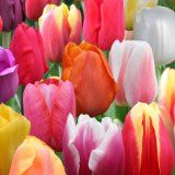 50 Mixed Perennial Tulip Seeds - Gorgeous Flower - Stratified Seeds - Copyrighted - http://tonysgifts.net/2015/04/08/50-mixed-perennial-tulip-seeds-gorgeous-flower-stratified-seeds-copyrighted/