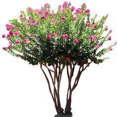 pink_laurel_shrub_by_lilipilyspirit-d4zkilb.png (512×512)