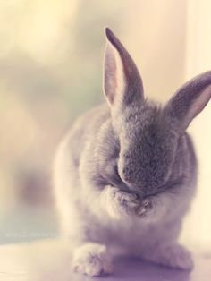Bunny washing face