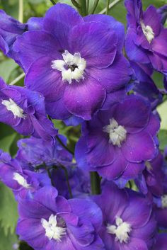 Delphinium, purple with white bee