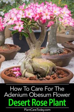 The Desert Rose Plant (Adenium Obesum) loves the sun and hot temperatures - hates overwatering. The Impala lily with its odd-looking swollen base makes a striking potted plant. Looks attractive grown and displayed in a bonsai pot. Learn How To grow and ca Bonsai Plants, Bonsai Garden, Garden Plants, Cacti And Succulents, Planting Succulents, Propagate Succulents, Succulent Containers, Container Flowers, Container Plants