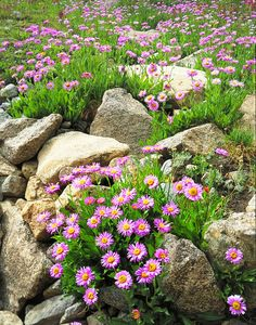 Flowers and Rocks