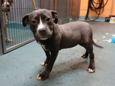 SAFE --- URGENT - Brooklyn Center   GILLIAN - A0992359  **** SAFER: EXPERIENCED HOME, NO CHILDREN ****   FEMALE, GRAY / WHITE, PIT BULL, 4 mos  STRAY - EVALUATE, NO HOLD Reason STRAY  Intake condition NONE Intake Date 02/23/2014, From NY 11213, DueOut Date 02/26/2014,  https://www.facebook.com/photo.php?fbid=765484373464444&set=a.617941078218775.1073741869.152876678058553&type=3&theater ++++SCARED FRIENDLY BABY++++