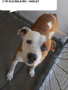 Harley  is a 2 yr old mix breed boy  who would love to take walks with you.  He needs to get out of the shelter and be someones special dog. Please don't leave him here.      Please help us SAVE Harley...