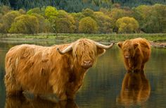 Hairy coos! I would love this photo framed.