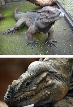 """""""Rhinoceros Iguana."""""""
