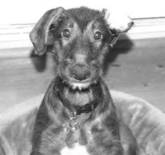 Scottish Deerhound Puppy!  Who wants to really pop that ear back into place when it's so cute!!