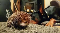 Yoda the hedgehog and Odin the Doberman ;)  #odin #yoda #hedgehog #hedgie #doberman #dog #cute #beautiful #strong #pet #thor #marvel #pedigree