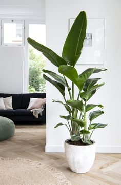 Terrace Garden Design, Birds Of Paradise Plant, Green Plants, Plant Decor, Home Living Room, Garden Inspiration, Garden Furniture, Home Deco, Indoor Plants
