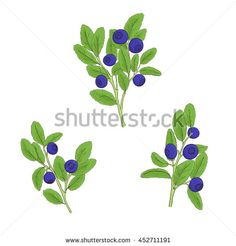 Set blueberry twigs with berries and leaves on a white background. Sprigs of blueberry painted black lines and filled with bright colors Hand drawn vector illustration.