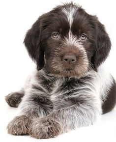 Dog And Puppies Memes Cesky Fousek Dog esk Fousek Bohemian Wire-haired Pointing Griffon.Dog And Puppies Memes Cesky Fousek Dog esk Fousek Bohemian Wire-haired Pointing Griffon Cute Puppies, Cute Dogs, Dogs And Puppies, Doggies, Big Black Dog Breeds, Black Dogs, Dog Photos, Dog Pictures, Griffon Dog