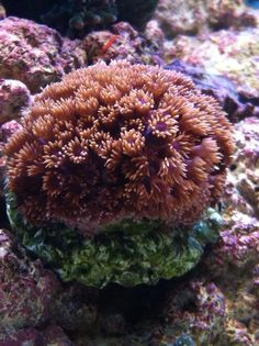 Red Goniporia
