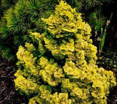 Golden Dwarf Hinoki Cypress ( nana lutea )