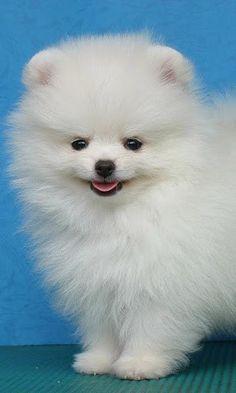 toy american eskimo dog