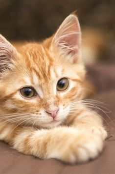Mon chat a du mal à digérer, quels aliments privilégier ? The Effective Pictures We Offer You About tabby Cat A quality picture can tell you many things. Cute Baby Cats, Cute Cats And Kittens, Cute Baby Animals, Kittens Cutest, Animals And Pets, Funny Animals, Funny Cats, Animals Images, Ragdoll Kittens