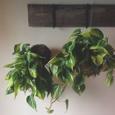 Enormous philodendron kokedama. Find yours at http://shop.pistilsnursery.com/products/vining-string-garden