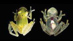 La rana transparente que muestra el corazón