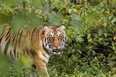 Book Wildlife Tour & Jungle Safari Packages In India. Explore Indian National Parks & Tiger Reserves through our professionally designed Wildlife safari tours Wildlife Safari, Jungle Safari, Jim Corbett National Park, Interesting Animals, Beautiful Forest, Stay The Night, Conservation, Habitats, Tours