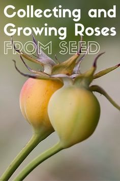 Growing Roses from Collected Seeds