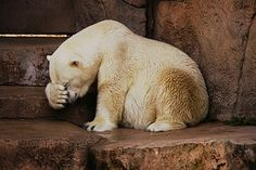 …this polar bear | Community Post: 16 Animals Afflicted By Shyness