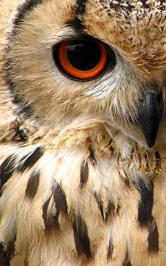 Indian Eagle Owl #owl #owls #birds