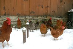 I love snow chicken pictures!