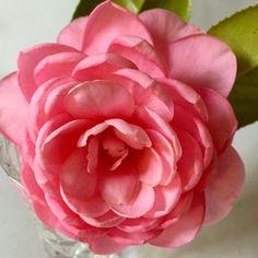 Charleston, Rose, Flowers, Plants, Inspiration, Biblical Inspiration, Floral, Roses, Plant