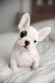 Maggie, the Cute French Bulldog Puppy❤️ #PuppyHouses