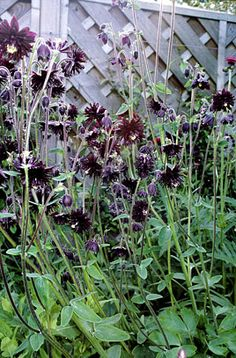 """Aquilegia 'Black Barlow'"" Columbine: hardy perennial, full sun-part shade, 50-100cm spring and summer"