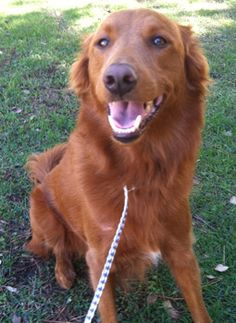 This is Oppie and he is a 4 yr old Golden mix. He is an owner surrender. He gets along with other dogs and kids, walks well on leash, has good house manners and is potty trained. Oppie is a friednly boy and he is looking for a forever home. He is at Retrievers and Friends of Southern California.
