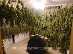 Make THC Active During The Drying Process