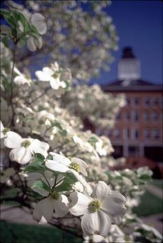 Dogwood Blooms and Main in the background