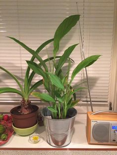 """Gitte Juel føler sig håbefuld. 29. oktober 2015 Jeg gendyrker fx en økologisk gurkemeje-rod, der vel havde ligget i køleskabet i 2 måneder. Den blev """"sået"""" 24.03. Den kiggede op af jorden 11.06. og er nu knap 70 cm høj inkl. potten. Har plantet den om i sommer, da den blev lidt kedelig/gul. Den skal åbenbart ha' plads.  Planen er er se, om der kan høstes rødder en dag grin-humørikon"""