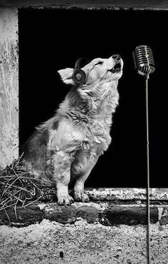 A crooner! I've always pictured my soul animal as a wolf(Cherokee Indian Folk Lore)         - and I've always wanted to sing on stage.