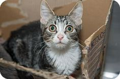 Tulip is a kitten up for adoption at the Humane Society of New York.