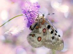 Apollofalter, Butterfly, Flower, Feather