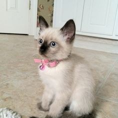 Cute siamese kitten...my dream wedding present :)