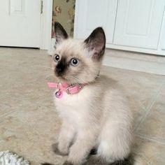 Cute siamese kitten...my dream wedding present :)
