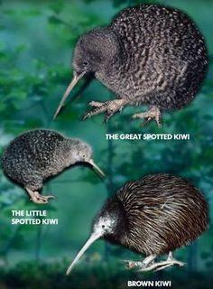 The Kiwi Bird is the national bird of New Zealand, and is an endangered flightless bird that eats bugs and small mammals. Green Detox Smoothie, Smoothie Cleanse, Green Smoothies, Juice Cleanse, New Zealand Wildlife, Animals And Pets, Cute Animals, Bird Identification, Kiwi Bird