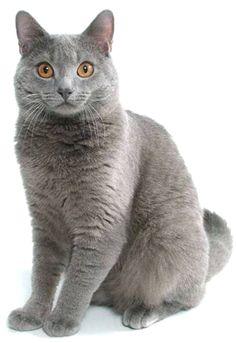 Chartreux Cat Breeder Uk