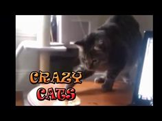 crazy funny  cats -  #animals #animal #pet #cat #cats #cute #pets #animales #tagsforlikes #catlover #funnycats crazy funny cats are back again 🙂 these cute cats are so funny and sooooo crazy 😀 Thumbs up if you liked 🙂 and dont't forget to subscribe pls 🙂 çılgın kediler,  komik kediler,  kediler  - #Cats