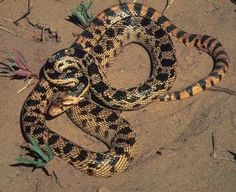Common Name: GOPHERSNAKE,  Scientific Name: PITUOPHIS CATENIFER