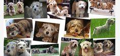 Lucas Terrier Club Lucas Terrier, Labrador Retriever, Club, Dogs, Animals, Labrador Retrievers, Animales, Animaux, Doggies