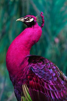 Amazing wildlife - Pink Peacock photo #peafowl